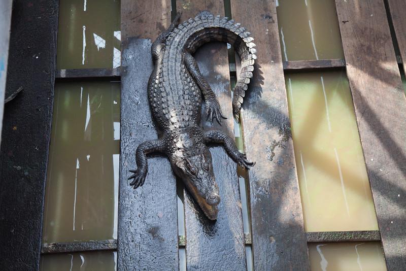 Siamese crocodile inhabits the Tonle Sap and Mekong