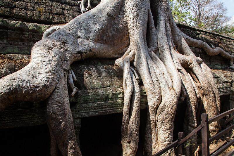 Cotton-silk tree