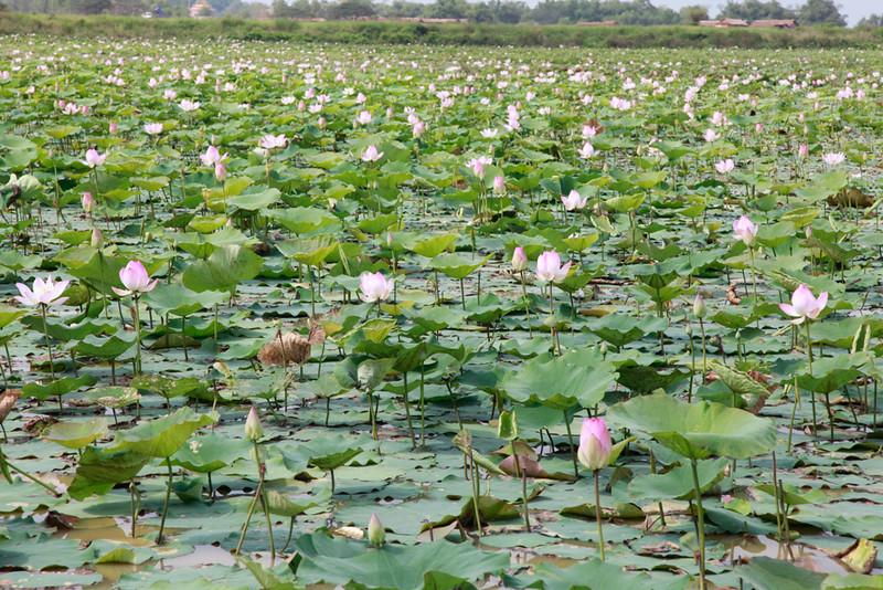 Lotus flower paddies