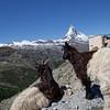 """""""Goats do Roam"""" the Matterhorn too."""