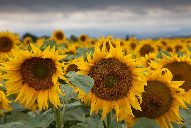 sunflowers near Vienne France