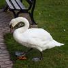Cochem swan