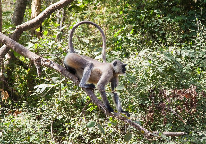 Langur monkey in Ranthambore