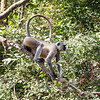 Langur monkey in Ranthambore