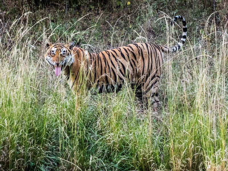 Tiger at Ranthambore Tiger Reserve