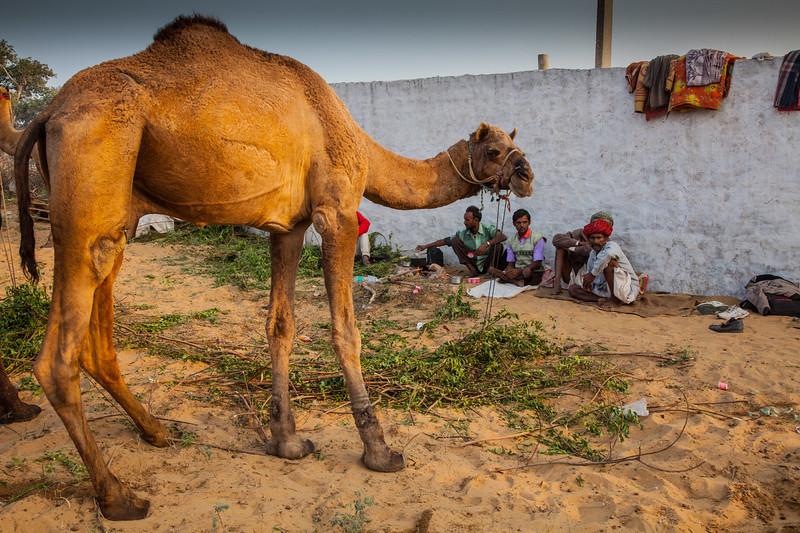 Camel drivers set up camp at Pushkar