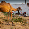 Camel drivers set up camp at Pushkar