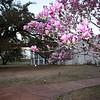 Magnolia Tree at Nottoway