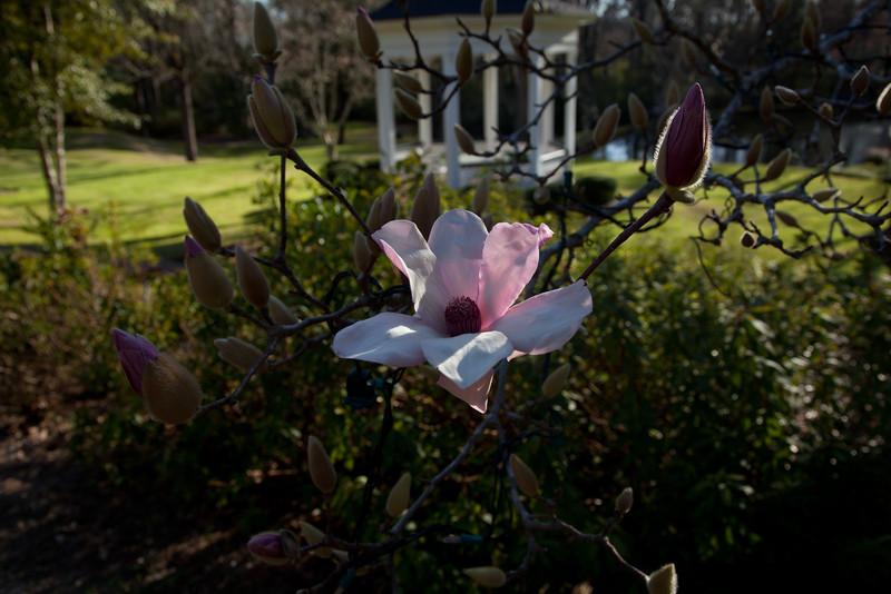 Magnolia at Monmouth Plantation, Natchez