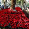 Planting Poinsettias in Hanoi Park