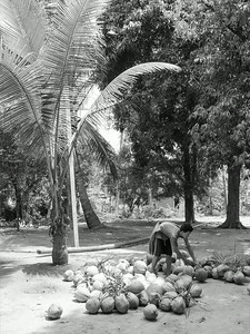 Harvest of coconut in Thai countryside
