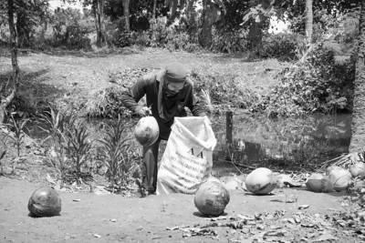 Woman collecting coconuts under coconut palm.