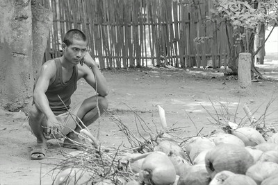Harvest of coconut close to Mae Sot.