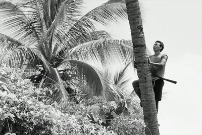 Burmese countryman climbing a coconut palm.