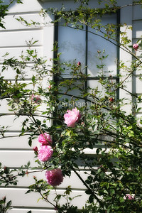Roses at Duncan HouseIMG_8690