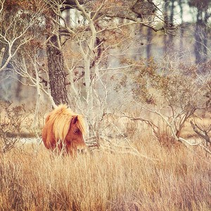 iPhone 5 Artography | Wild Horses in Assateague State Park , MD | March 2014