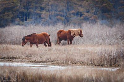 Wild Horses in Assateague State Park , MD | March 2014