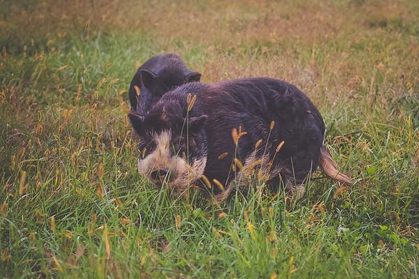 Pigs, Hogs + Boars