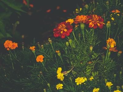 Mums + Marigolds