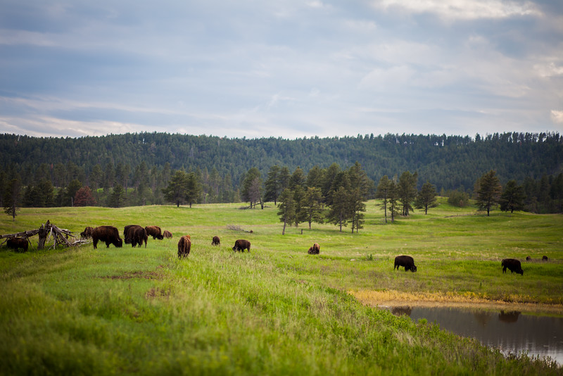 Buffalo Safari Jeep Tour | Custer State Park | South Dakota
