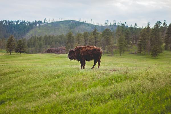 Buffalo + Bison