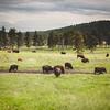 Buffalo Safari Jeep Tour | Custer State Park, South Dakota