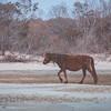 Wild Ponies   Chincoteague National Wildlife Refuge, Virginia   March 2014