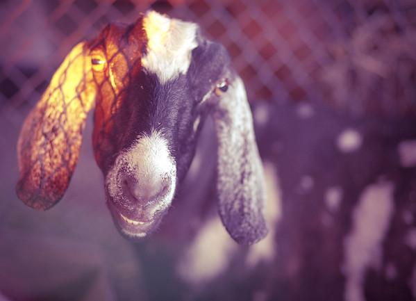 Goats + Sheep