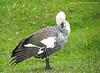 Argentina, Tierra Del Fuego Nat. Park - Upalnd Goose