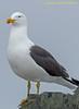 South Shetlands, Half Moon Island - Kelp Gull