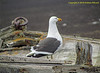 South Shetlands, Deception Isaland - Kelp Gull