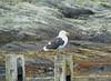 Argentina, Tierra Del Fuego Nat. Park - Kelp Gull