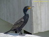 TX, Galveston - Double Crested Cormorant