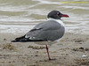 TX, Riviera - Baffin Bay - Laughing Gull
