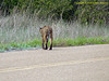 TX, Austwell - Aransas National Wildlife Refuge - Bobcat