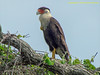 TX, Rockport - Goose Isalnd State Pk. - Crested Caracara