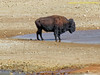 TX, Quitaque - Caprock Canyons State Pk. - Bison