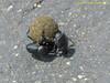 TX, Austwell - Aransas National Wildlife Refuge - Dung Beetle