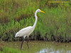 TX, Austwell - Aransas National Wildlife Refuge - Great Egret