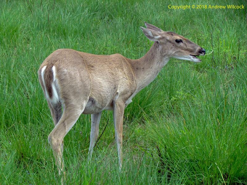 TX, Austwell - Aransas National Wildlife Refuge - White-tailed Deer