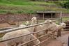 Peru, Khallka pruwinsya, Llama Farm -  Llama