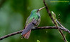 Costa Rica - Rufous-tailed Hummingbird