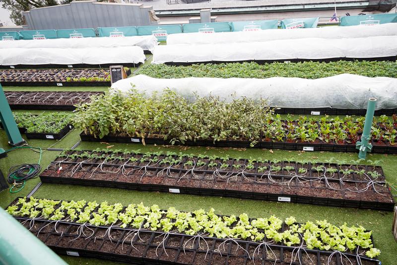 Vegetable garden at Fenway Park