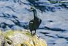 Fair Isle - Cormorant
