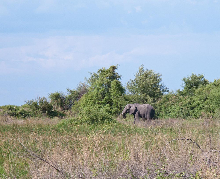 Elelphant seen on a walk in the Okavanga Delta