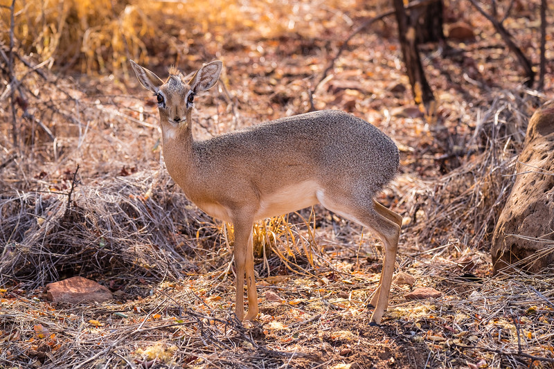 Damaraland Dik-dik at Waterberg National Park