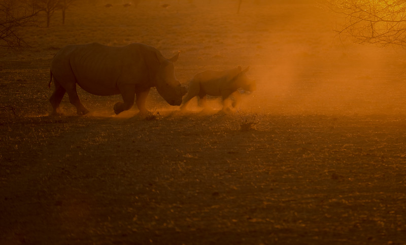 Black rhino female and calf backlit by the setting sun