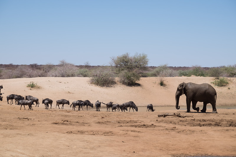 This young male elephant seemed to amuse himself by chasing wildebeest from the waterhole