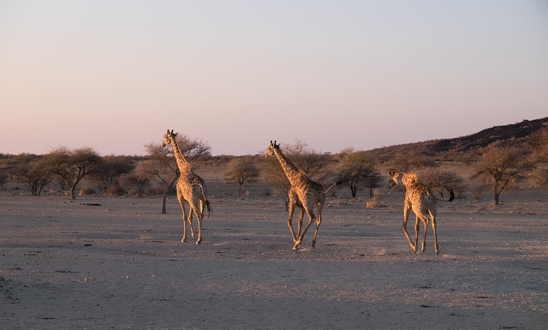 Three Giraffe lope off in to the sunset