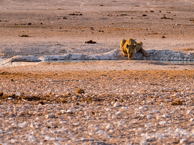 Female lion at the waterhole in the early morning